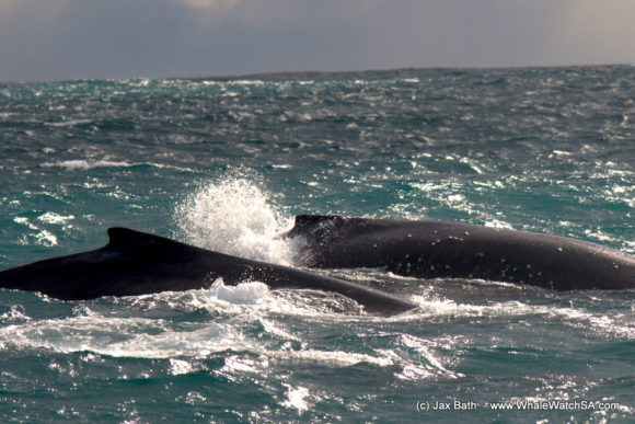 Whale watching South Africa Boat Based Tours (5)