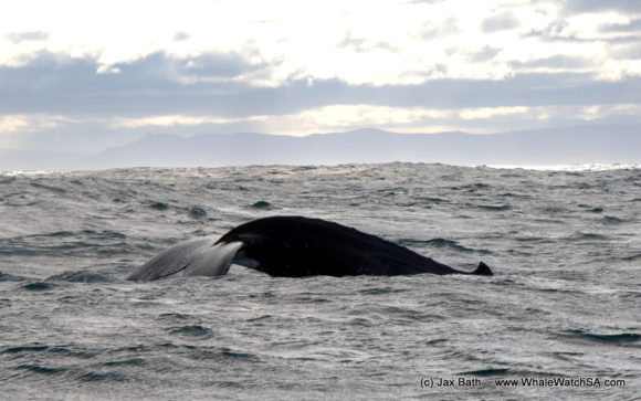 Whale watching South Africa Boat Based Tours (7)