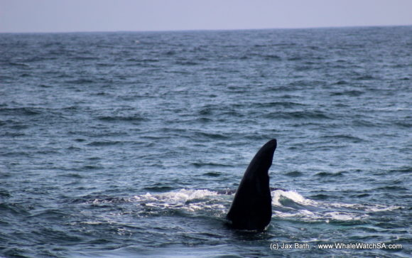 Boat Based Whale Watching Boat Tours Cape Town South Africa Hermanus HumpBack Whale (1)