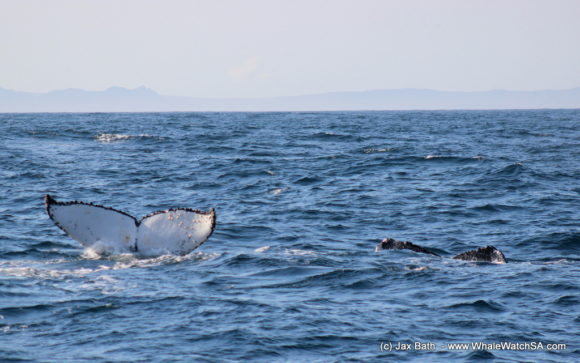 Boat Based Whale Watching Boat Tours Cape Town South Africa Hermanus HumpBack Whale (10)
