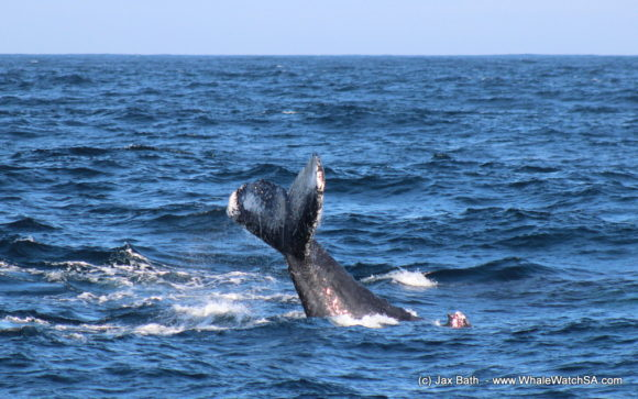 Boat Based Whale Watching Boat Tours Cape Town South Africa Hermanus HumpBack Whale (11)