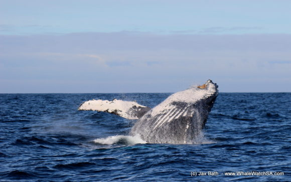 Boat Based Whale Watching Boat Tours Cape Town South Africa Hermanus HumpBack Whale (12)