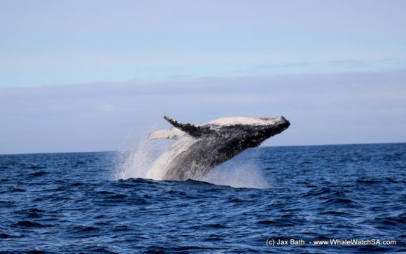 Boat Based Whale Watching Boat Tours Cape Town South Africa Hermanus HumpBack Whale (13)