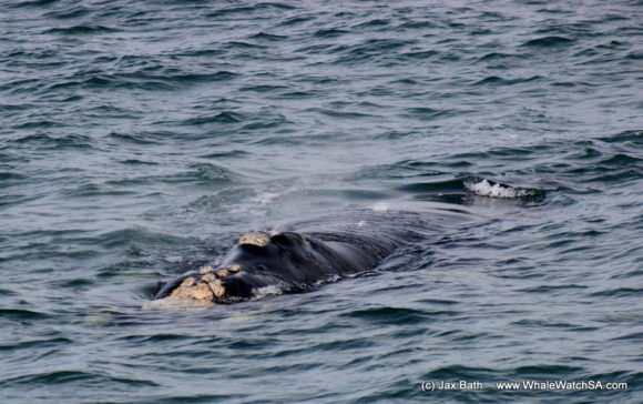 Boat Based Whale Watching Boat Tours Cape Town South Africa Hermanus HumpBack Whale (2)
