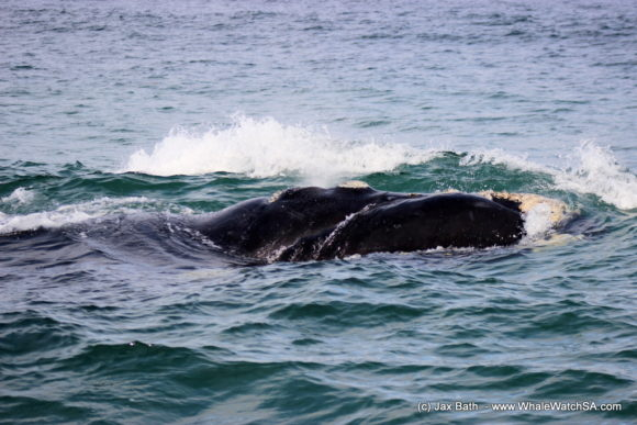 Boat Based Whale Watching Boat Tours Cape Town South Africa Hermanus HumpBack Whale (3)