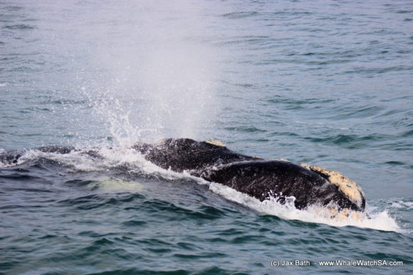 Boat Based Whale Watching Boat Tours Cape Town South Africa Hermanus HumpBack Whale (4)