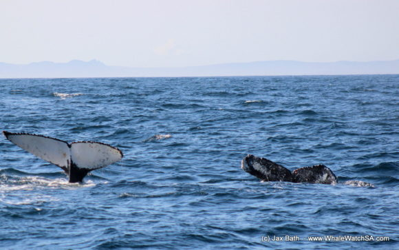 Boat Based Whale Watching Boat Tours Cape Town South Africa Hermanus HumpBack Whale (9)