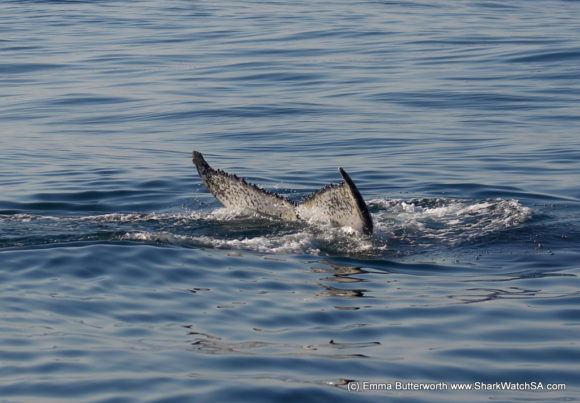 Humback Whale Boat Tours (1)