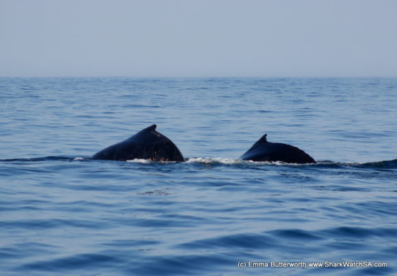 Humback Whale Boat Tours (4)