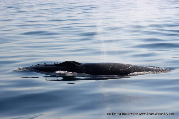 Humback Whale Boat Tours (5)