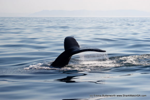Humback Whale Boat Tours (6)