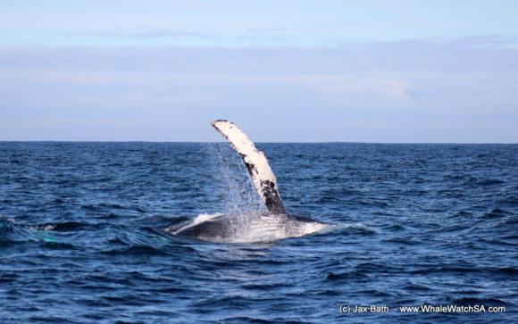 Humpback Whale (1)