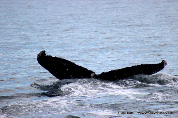 Marine Dynamics Boat Based Whale watching Tours Gansbaai South Africa Marine Big 5 (14)