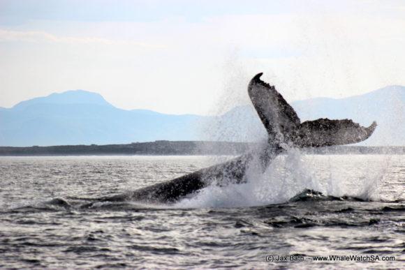 Marine Dynamics Boat Based Whale watching Tours Gansbaai South Africa Marine Big 5 (15)