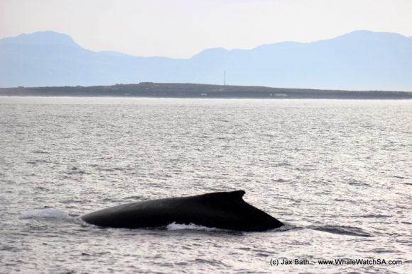 Marine Dynamics Boat Based Whale watching Tours Gansbaai South Africa Marine Big 5 (16)