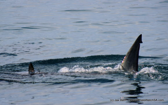 Marine Dynamics Boat Based Whale watching Tours Gansbaai South Africa Marine Big 5 (4)