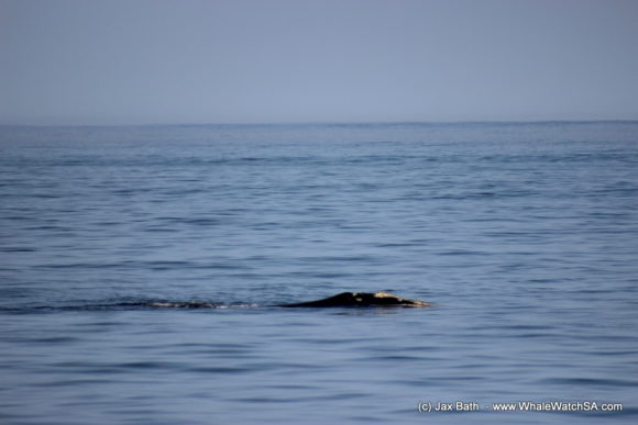 Marine Dynamics Boat Based Whale watching Tours Gansbaai South Africa Marine Big 5 (6)