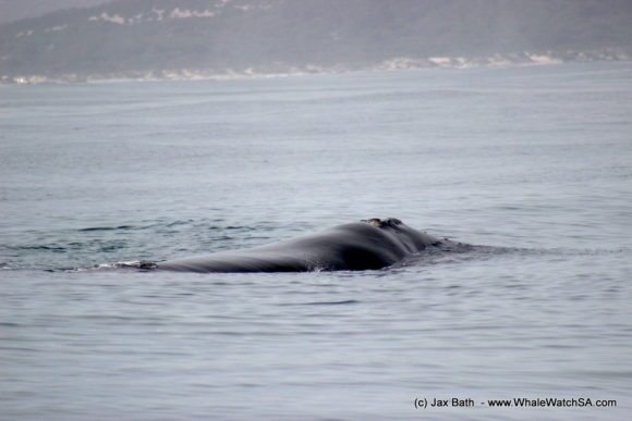 South Africa Whale Watching Tours Boat Based Hermanus (1)
