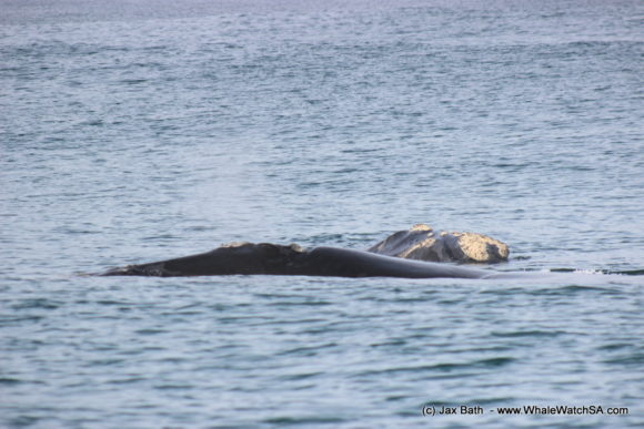 South Africa Whale Watching Tours Boat Based Hermanus (2)