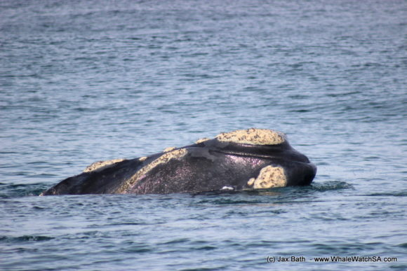 South Africa Whale Watching Tours Boat Based Hermanus (3)
