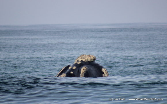 South Africa Whale Watching Tours Boat Based Hermanus (4)