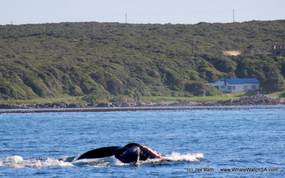Whale Watching Boat Based eco Marine Safaris Dyer Island Cape Town South Africa (1)