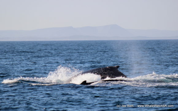 Whale Watching Boat Based eco Marine Safaris Dyer Island Cape Town South Africa (25)
