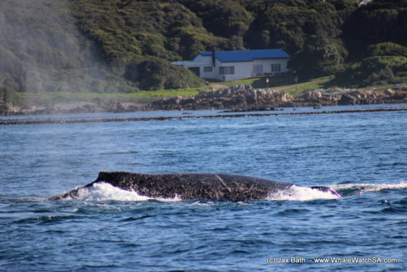 Whale Watching Boat Based eco Marine Safaris Dyer Island Cape Town South Africa (3)