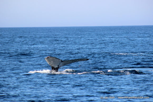 Whale Watching Boat Based eco Marine Safaris Dyer Island Cape Town South Africa (6)