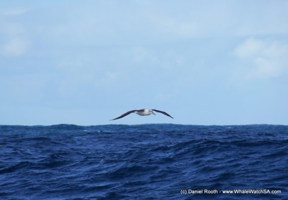 Whale Watching South Africa (2)