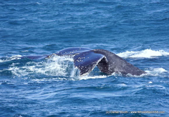 Whale Watching South Africa (3)