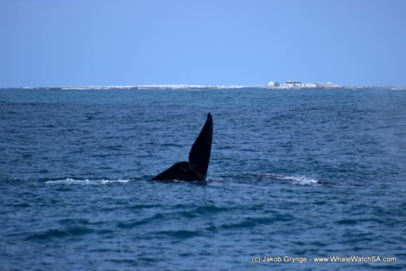 Whale Watching South Africa (4)