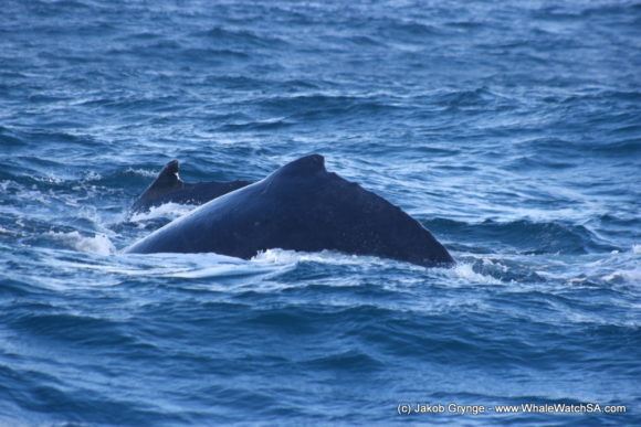 Whale Watching South Africa (5)
