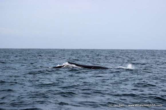 Whale Watching South Africa Boat Based Tours Gansbaai Wildlife Encounters (10)