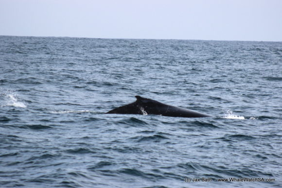 Whale Watching South Africa Boat Based Tours Gansbaai Wildlife Encounters (11)