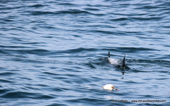 Whale Watching South Africa Boat Based Tours Gansbaai Wildlife Encounters (12)