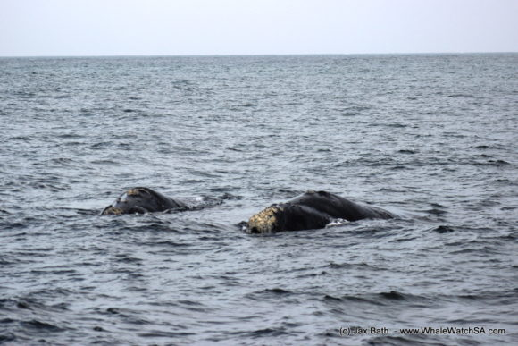 Whale Watching South Africa Boat Based Tours Gansbaai Wildlife Encounters (13)