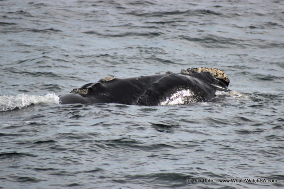 Whale Watching South Africa Boat Based Tours Gansbaai Wildlife Encounters (14)