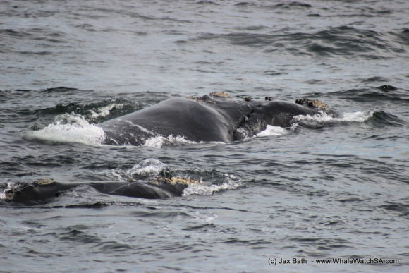 Whale Watching South Africa Boat Based Tours Gansbaai Wildlife Encounters (15)