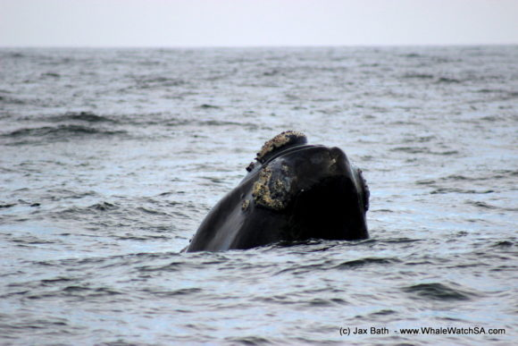 Whale Watching South Africa Boat Based Tours Gansbaai Wildlife Encounters (16)