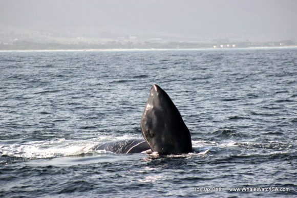 Whale Watching South Africa Boat Based Tours Gansbaai Wildlife Encounters (2)