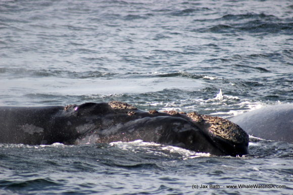 Whale Watching South Africa Boat Based Tours Gansbaai Wildlife Encounters (3)