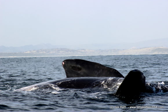 Whale Watching South Africa Boat Based Tours Gansbaai Wildlife Encounters (4)