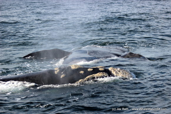 Whale Watching South Africa Boat Based Tours Gansbaai Wildlife Encounters (5)