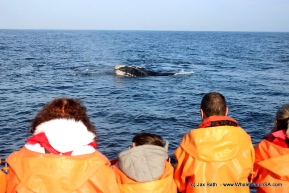 Whale Watching South Africa Boat Based Tours Gansbaai Wildlife Encounters (7)