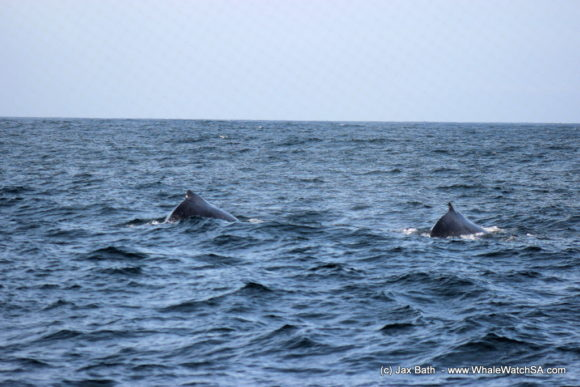 Whale Watching South Africa Boat Based Tours Gansbaai Wildlife Encounters (9)