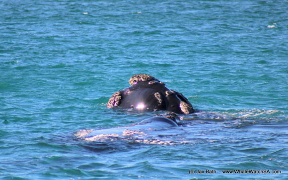 Whale watching Boat Based Tours South Africa Marine Big 5 Eco safari (11)