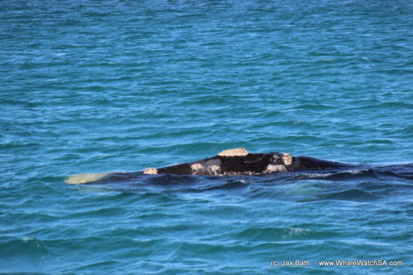 Whale watching Boat Based Tours South Africa Marine Big 5 Eco safari (12)