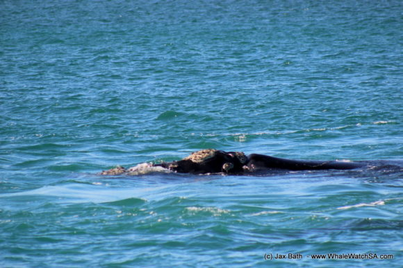 Whale watching Boat Based Tours South Africa Marine Big 5 Eco safari (15)
