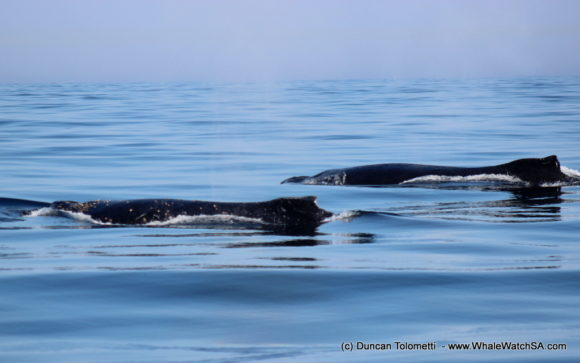 Whale watching boat based tours Gansbaai South Africa Wildlife encouunters (1)